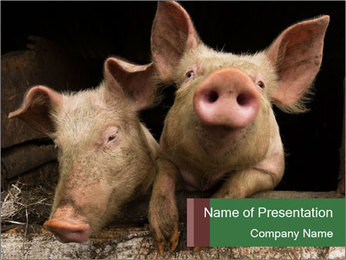 Farm Pigs PowerPoint Template - Slide 1