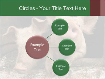 Farm Pigs PowerPoint Template - Slide 79