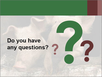 Farm Pigs PowerPoint Template - Slide 96