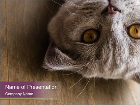British cat PowerPoint Templates
