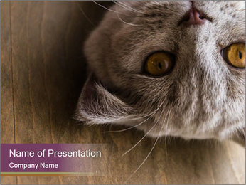 British cat PowerPoint Template - Slide 1