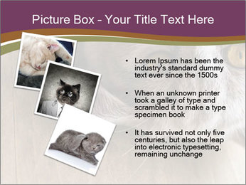 British cat PowerPoint Template - Slide 17