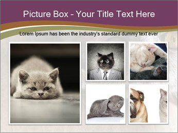 British cat PowerPoint Template - Slide 19