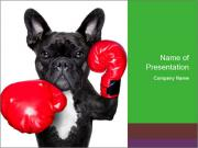 French Bulldog In Red Boxing Gloves PowerPoint Templates