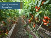 Tomatoes PowerPoint Templates