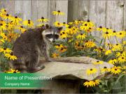 Raccoon sips water PowerPoint Templates