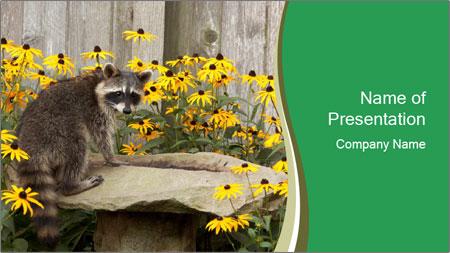 Raccoon sips water PowerPoint Template