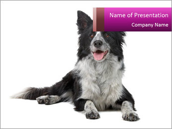 Border Collie Breed PowerPoint Template - Slide 1