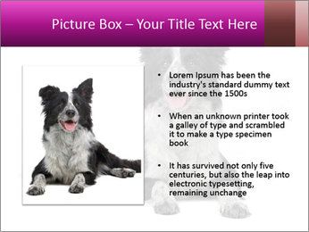 Border Collie Breed PowerPoint Template - Slide 13