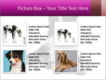 Border Collie Breed PowerPoint Template - Slide 14