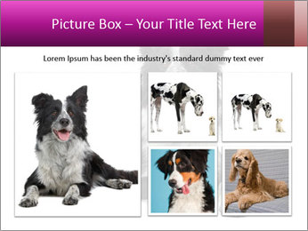 Border Collie Breed PowerPoint Template - Slide 19