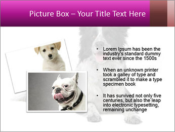 Border Collie Breed PowerPoint Template - Slide 20