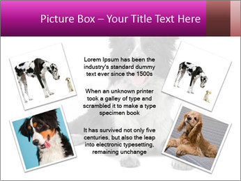 Border Collie Breed PowerPoint Template - Slide 24