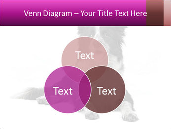 Border Collie Breed PowerPoint Template - Slide 33