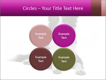 Border Collie Breed PowerPoint Template - Slide 38