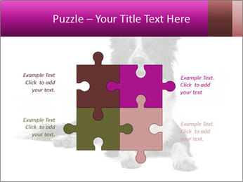 Border Collie Breed PowerPoint Template - Slide 43