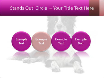 Border Collie Breed PowerPoint Template - Slide 76