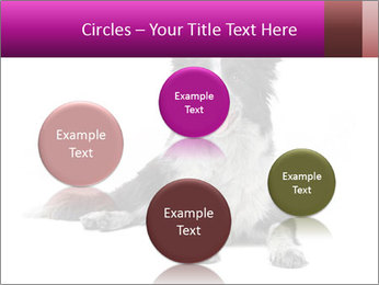 Border Collie Breed PowerPoint Template - Slide 77