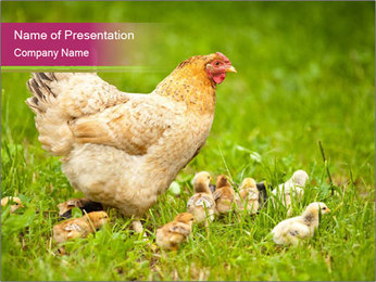 Mother chicken PowerPoint Template