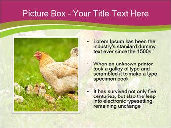 Mother chicken PowerPoint Template - Slide 13