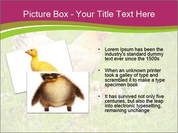 Mother chicken PowerPoint Template - Slide 20