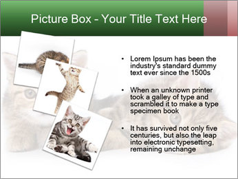 British kittens PowerPoint Templates - Slide 17