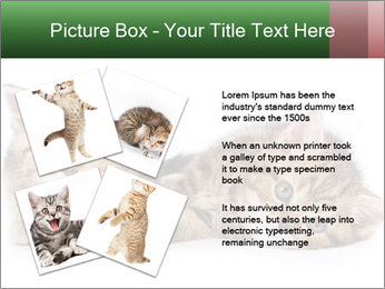 British kittens PowerPoint Templates - Slide 23