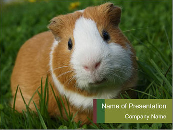 Guinea pig PowerPoint Template - Slide 1