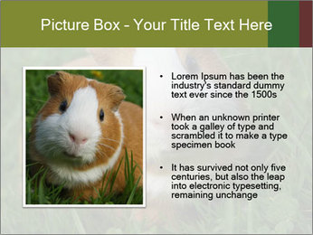 Guinea pig PowerPoint Template - Slide 13