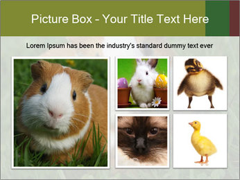 Guinea pig PowerPoint Template - Slide 19