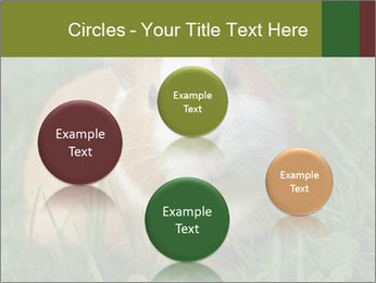 Guinea pig PowerPoint Template - Slide 77