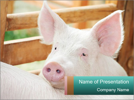 Young pig PowerPoint Templates