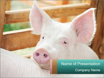 Young pig PowerPoint Template - Slide 1