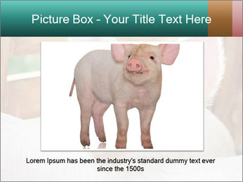 Young pig PowerPoint Template - Slide 15