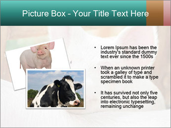 Young pig PowerPoint Template - Slide 20