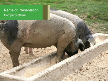 Pigs PowerPoint Template