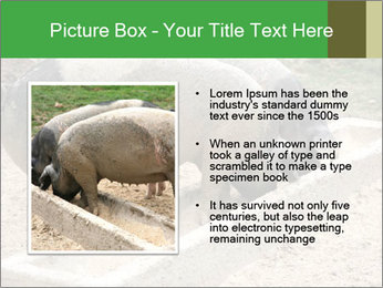 Pigs PowerPoint Template - Slide 13