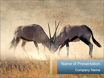 Two male gemsbok antelopes PowerPoint Template - Slide 1