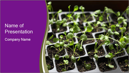 Tomatoes in soil PowerPoint Template