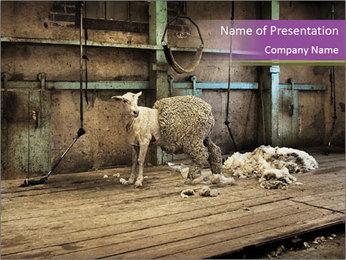 Half shorn sheep PowerPoint Template