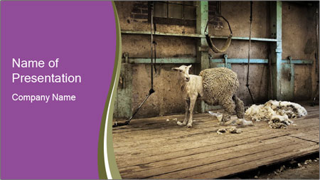 Half shorn sheep PowerPoint Template