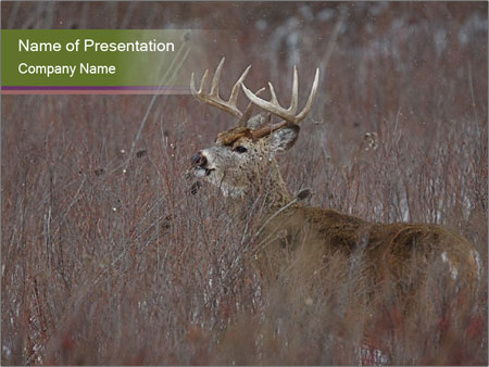 Deer PowerPoint Templates