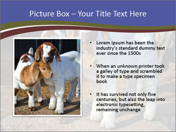 Baby Goats PowerPoint Templates - Slide 13