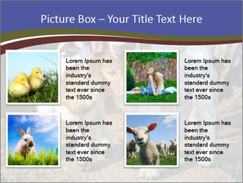 Baby Goats PowerPoint Templates - Slide 14
