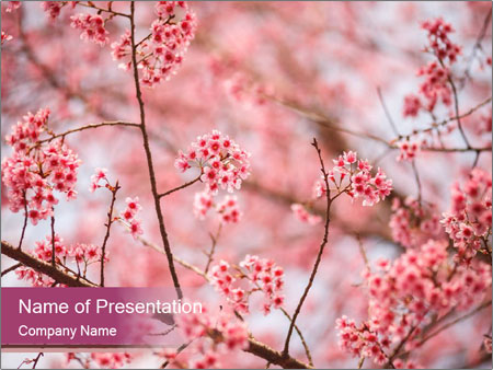 Beautiful cherry blossom PowerPoint Template