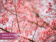 Beautiful cherry blossom PowerPoint Templates