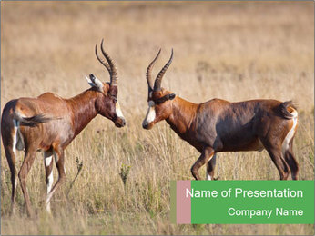 Pair of Blesbok PowerPoint Template - Slide 1