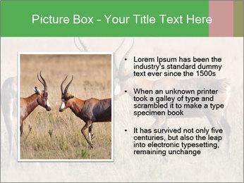 Pair of Blesbok PowerPoint Template - Slide 13