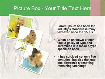 Pair of Blesbok PowerPoint Template - Slide 17