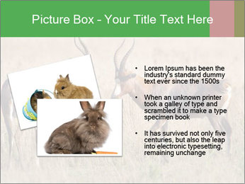 Pair of Blesbok PowerPoint Template - Slide 20